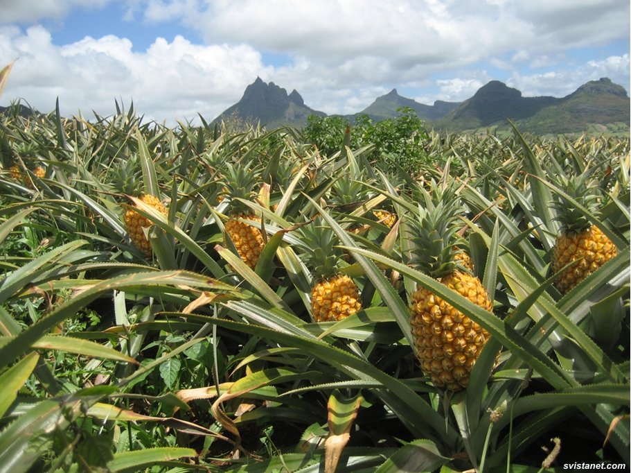 фото ананас