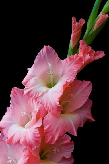 Розовый нежный цвет - гладиолусы, фото
