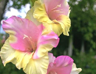 гладиолусы розовые и желтые, фото