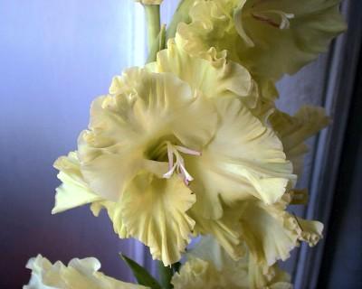 тяжелые и воздушные гладиолусы, фото
