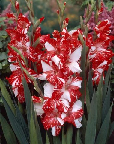 такая неожиданная смесь цветов - гладиолусы, фото
