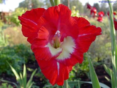 нежные красные цветы гладиолусы, фото