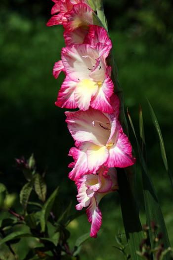 гладиолусы - цветы, как бабочки, фото