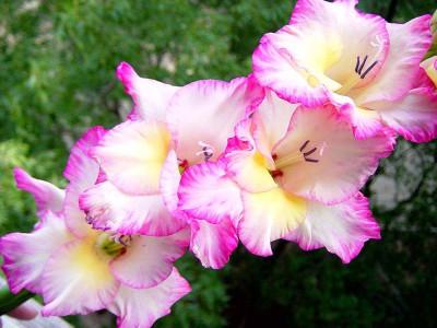 белые с розовым гладиолусы, фото
