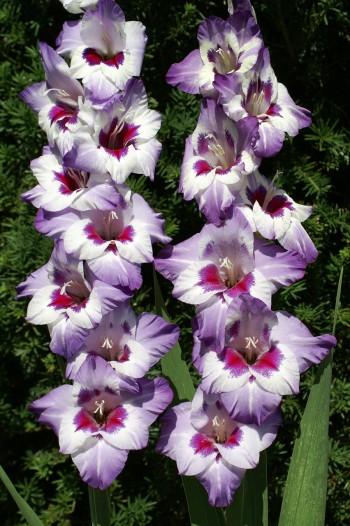 гладиолусы, похожие на бабочек, фото
