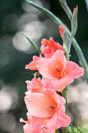 гладиолусы цвета нежного крема, фото