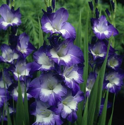 гладиолусы василькового цвета, фото