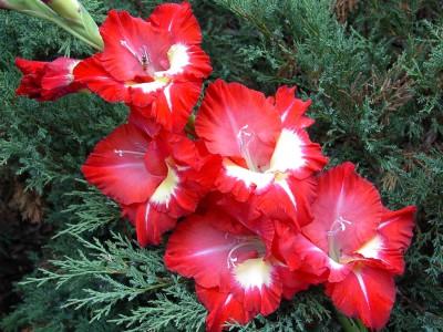 красные с белым гладиолусы, фото